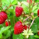 Ремонтантная земляника: особенности выращивания и ухода