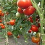 Выращивание помидоров по методу И.М. Маслова как способ повысить урожайность