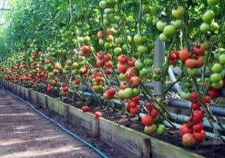 удобрение помидор