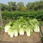Способы выращивания Пекинской капусты