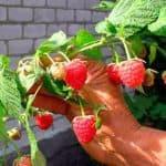 Уход за малиной и способы ее выращивания