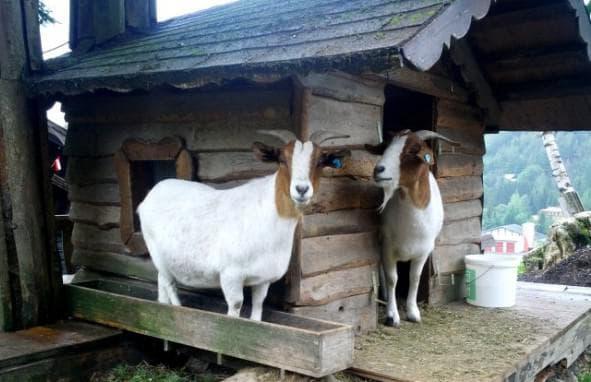 коза альпийская горка