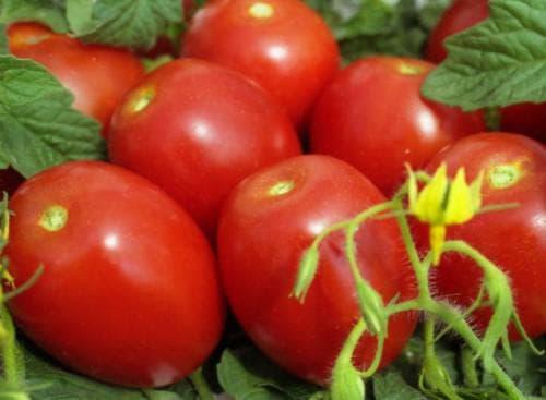помидор Валентина
