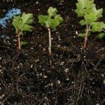 Черная смородина: все о посадке, уходе и размножении