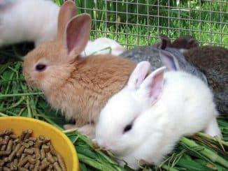кормление декоративных кроликов