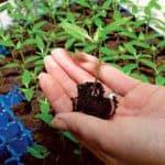 Как и когда правильно сажать перцы на рассаду?
