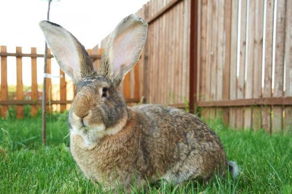 кролие с большими ушами