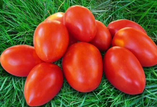 помидоры сорта Акварель
