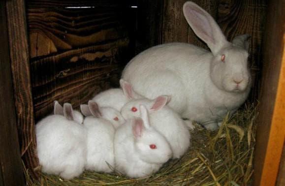 крольчиха белого великана