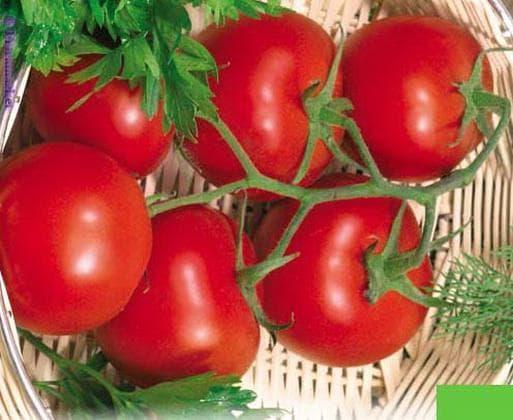 помидоры сорта Скороспелка