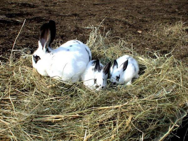 семейство кроликов бабочка