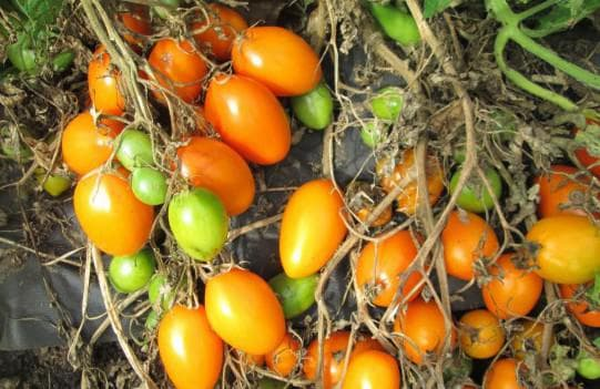 помидоры сорта Золотой поток