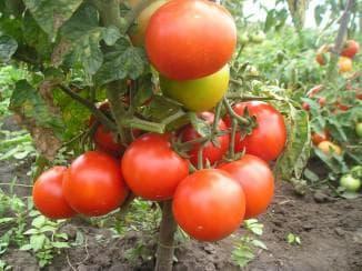 Высокорослые томаты для теплиц высокоурожайные