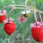 как правильно сажать землянику семенами на рассаду