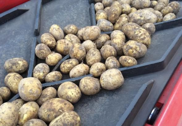 кормовой картофель