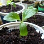 Технология выращивания кабачков в открытом грунте