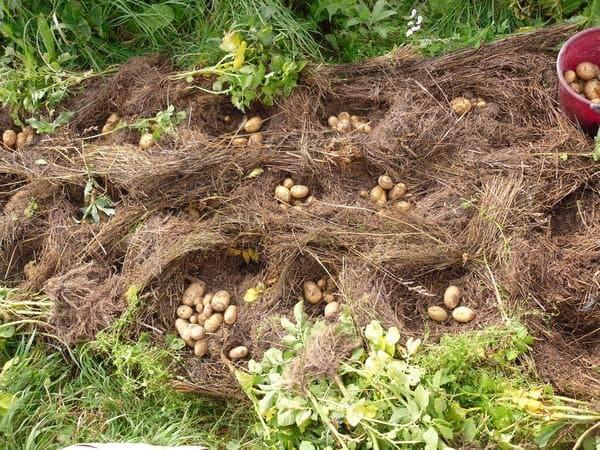 хороший рост картошки под сеном