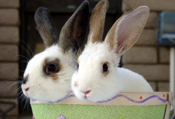 инфекционный ринит у кроликов
