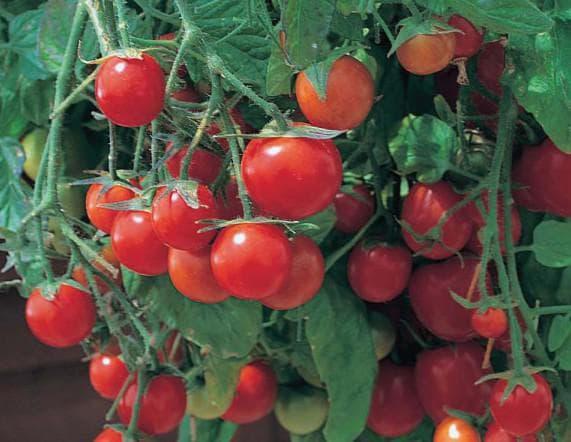 помидоры сорта Бонсай