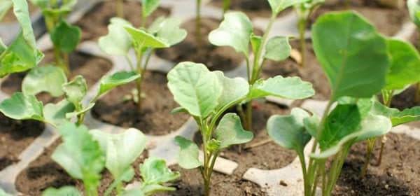ростки капусты брокколи