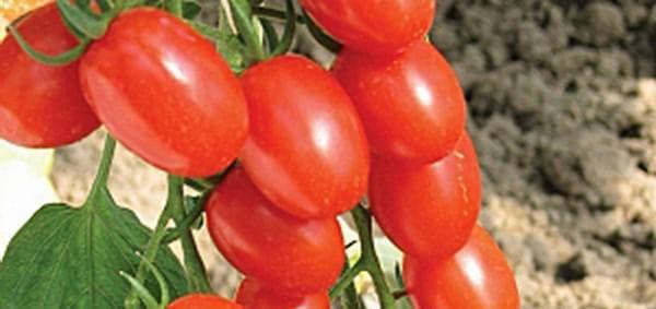 помидор Анастасия