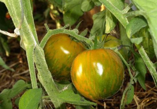 помидоры сорта Ангольские
