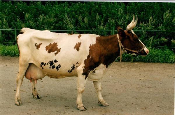 корова айршир