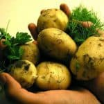 выращивание картофеля из семян в торфяных таблетках