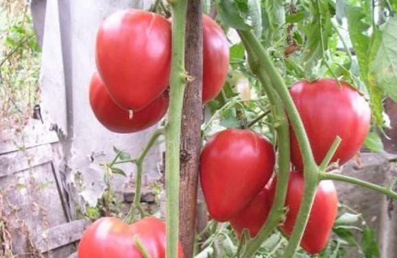 помидоры сорта Безразмерный