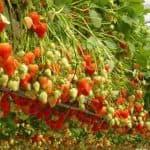 В чем особенности выращивания клубники по голландской технологии?