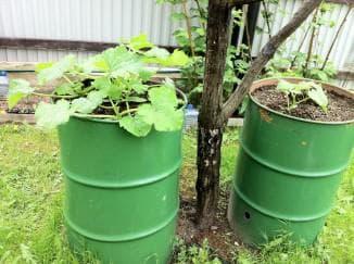 способы выращивания огурцов в бочке