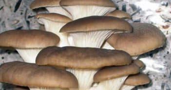 грибы вешенки у себя дома