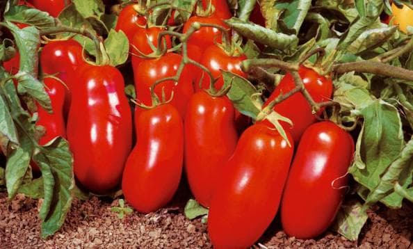 помидор Рома
