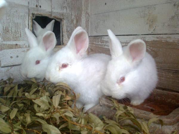 маленькие кролики новозеландской породы