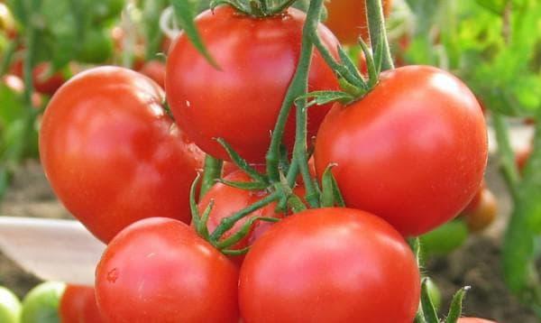 помидоры сорта Амурский штамб