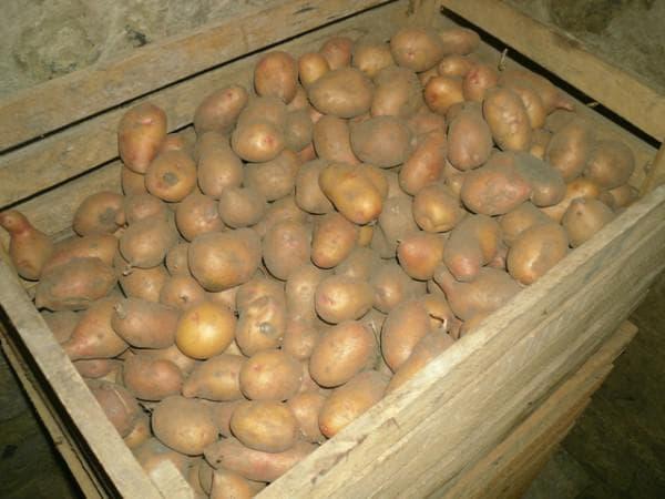 Температура хранения картофеля зимой