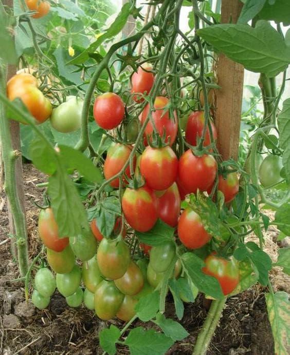 помидор сорта Баттерфляй