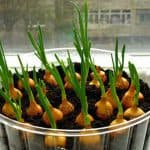 Особенности выращивания лук на подоконнике