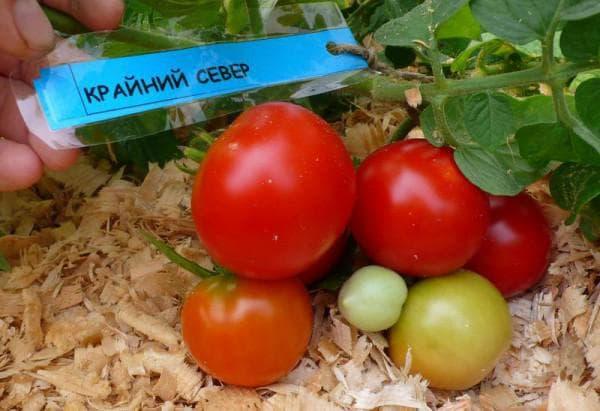 помидоры сорта Крайний север