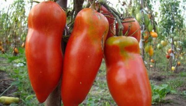 помидоры сорта Алый мустанг GL