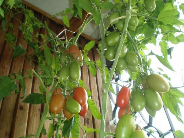 томат ниагара