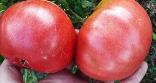 помидор Король гигантов