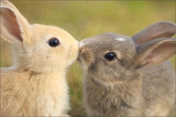 когда спаривать кроликов