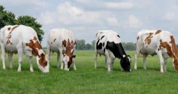 Голштинская порода коров характеристика