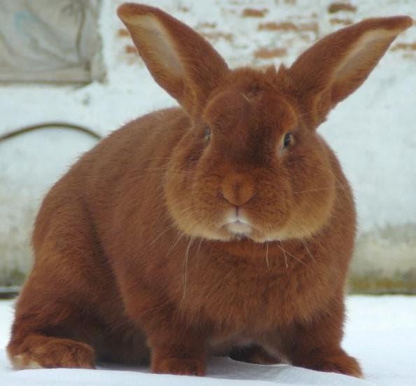 кролик с большими ушами