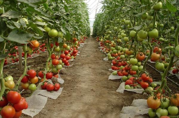 помидоры из теплицы