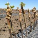 Как прорастить саженцы винограда из чубуков, когда их садить?