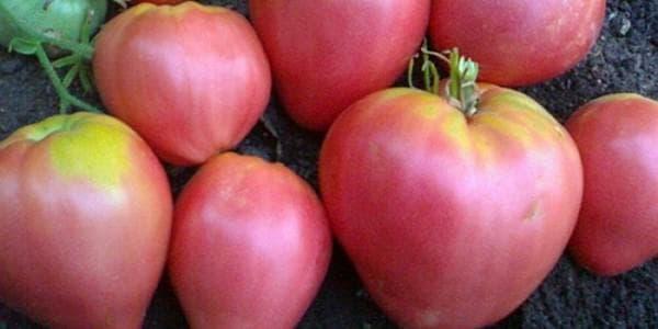 помидор сорта Вельможа