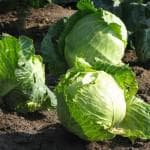 выращивание брюссельской капусты в подмосковье