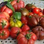 Список ранних сортов томатов для открытого грунта